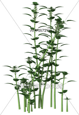 Urtica Dioica, Or Common Nettle Or Stinging Nettle, Isolated On White Background Stock Photo