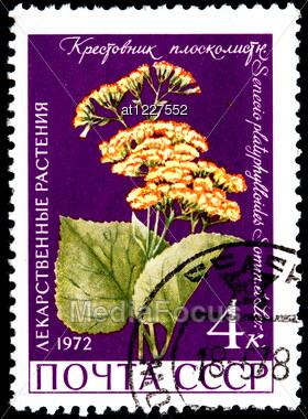 USSR - CIRCA 1972: A Postage Stamp Shows Senecio Platyphylloides, Circa 1972 Stock Photo