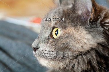 Very Closeup Of The Muzzle Of Gray Cat Indoors, Profile View Stock Photo