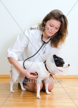 Veterinarian Examining Jack Russell Terrier With Stethoscope Stock Photo