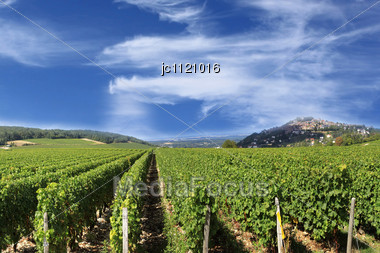Vineyard Vines And Grapes For The Harvest Of The Great Wines Of France Stock Photo