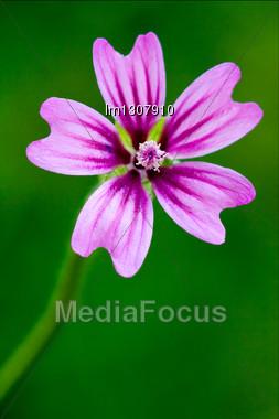 Violet Flower Malva Alcea Moschata Sylvestris Lavatea Arborea Punctata Thuringiaca Malvacee Trimestris Stock Photo