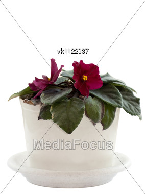 Violet in a white pot Stock Photo