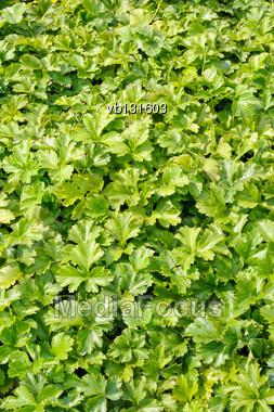 Waldsteinia Ternata, Decorative Groundcover Plant In The Garden Stock Photo