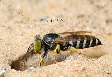 Wasp Bembex Rostratus Burrow In The Sand Stock Photo