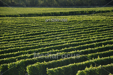 Well-groomed Vinyard In Marlborough, New Zealand Stock Photo