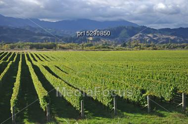 Well-groomed Vinyard In Marlborough, New Zealand Stock Photo