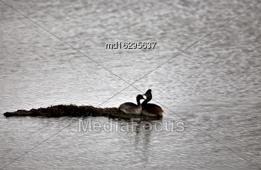 Western Grebe Couple In A Pond Canada Stock Photo