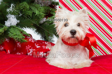 Westie Dog With Ribbon Bow Sitting On Red Cover Surrounded By Christmas Presents And New Year Tree Stock Photo