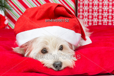 Westie Dog In Winter Hat Lying On Red Cover Surrounded By Christmas Presents Stock Photo
