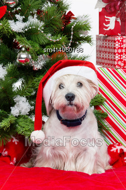 Westie Dog In Winter Hat Sitting On Red Cover Surrounded By Christmas Presents And New Year Tree Stock Photo