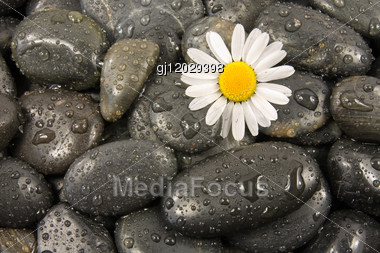Wet Black Stones And White Daisy Flower Stock Photo