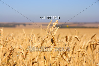 Wheat Field Against A Blue Sky Stock Photo