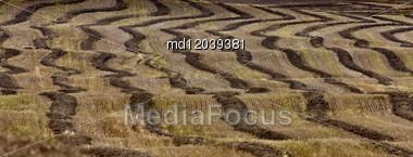 Wheat Field Swathe Saskatchewan Canada Harvest Time Stock Photo