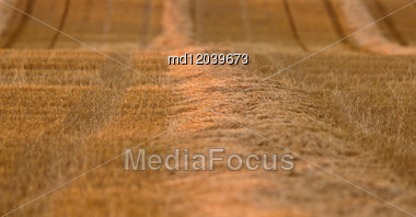 Wheat Field Swathe Saskatchewan Canada Harvest Time Stock Photo