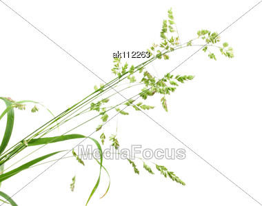 White Background With Single Branch Of Green Grass. Close-up. Studio Photography Stock Photo