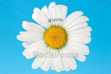 White Camomile Isolated Over A Blue Background Stock Photo
