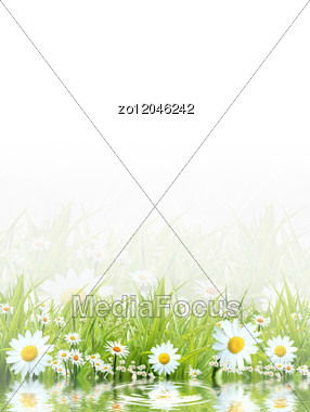 White Camomiles And Green Grass As A Background Stock Photo