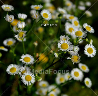 White Daisies And Fresh Green Grass At Sunny Summer Day Stock Photo