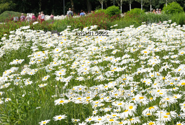 White Daisy Flowers On A Summer Green Meadow Stock Photo