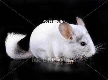 White Ebonite Chinchilla On Black Background Stock Photo