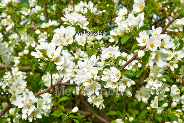 White Flowers Of Apple Trees On A Background Green Leaves Stock Photo