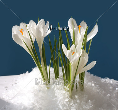 white flowers in the snow macro stock photo lr11180142. Black Bedroom Furniture Sets. Home Design Ideas