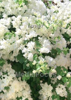 Stock photo white flowers in tropical garden image ra1131817 royalty free stock photo white flowers in tropical garden mightylinksfo