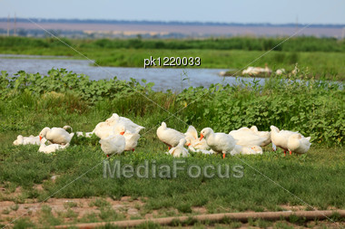 White Geese On Green Field Near A Pond Stock Photo