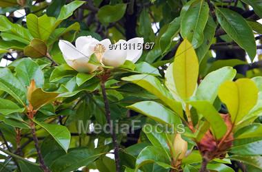 White Magnolia Flower In Park Stock Photo