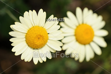 White Matricaria Flowers On A Summer Green Meadow Stock Photo