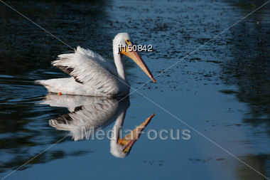 White Pelican (Pelecanus Erythrorhynchos) Swimming In A Lake Stock Photo
