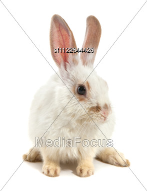 White Small Rabbit Stock Photo