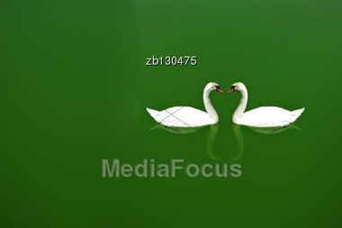 White Swan Swimming Alone In Green Calm Water. Stock Photo