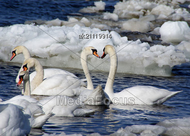 White Swans Are Very Much Greater, Beautiful And Graceful Birds Stock Photo