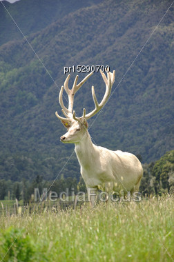 White Variety Of Red Deer Stag, Cervus Elephus, In Velvet, West Coast, South Island, New Zealand Stock Photo