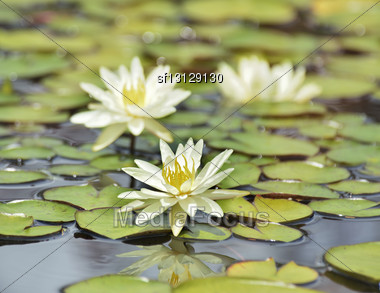 White Water Lilies On The Lake Stock Photo