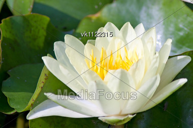 White Water Lily With Green Leaves Stock Photo