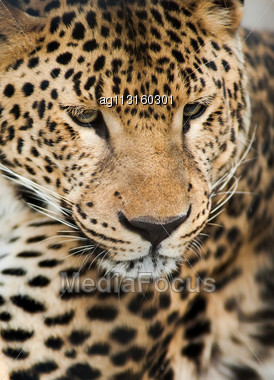 Wild Animals: Portrait Of Leopard. Artistic Shallow DOF Stock Photo