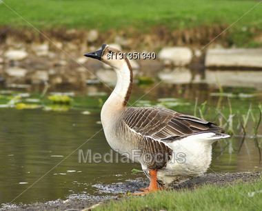 Wild Goose By The Lake Stock Photo