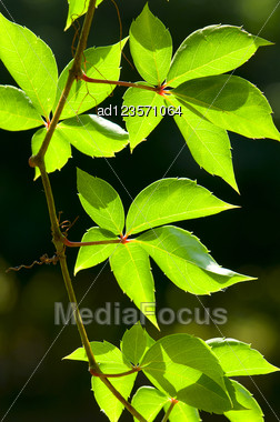 Wild Grape Ivy On A Dark Background Stock Photo