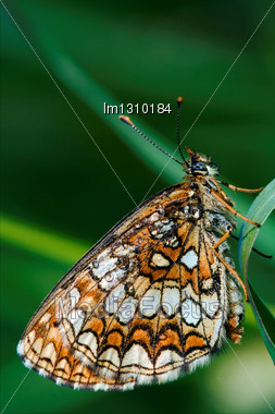 Wild Orange Butterfly On A Green Leaf In The Bush Stock Photo