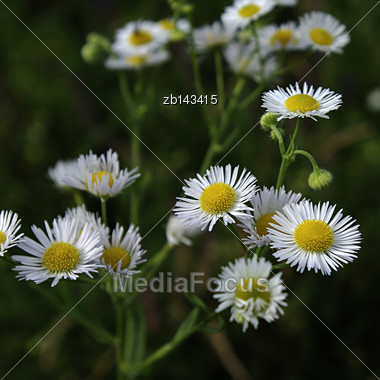 Wild White Flowers In Dark Forest Lit By Sun Light Stock Photo