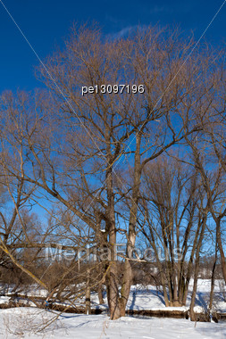 Willow Grove In Sunny Winter Day Stock Photo