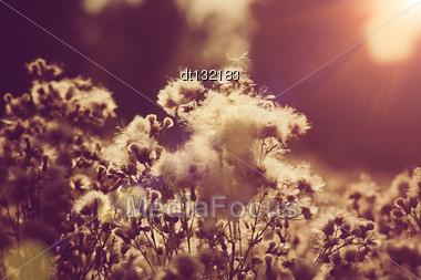 Willow-herb Under The Evening Sun, Natural Backgrounds Stock Photo