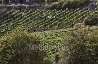 Winery Queenstown New Zealand Rows Of Grape Vines Stock Photo