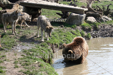 wolf and bear encounter Stock Photo