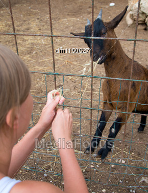Woman Feeding Goat On The Farm Stock Photo