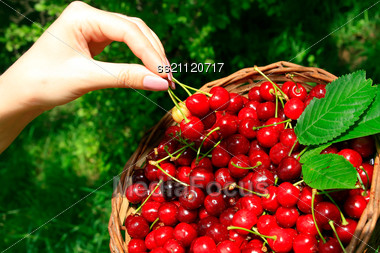Woman's Hands Holding Basket Of Ripe Red Cherries Stock Photo