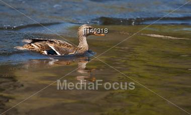 Wood Duck (Aix Sponsa) Landing In A Lake Stock Photo